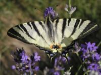 Sexuální chování motýlů